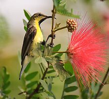 Purpled-rumped Sunbird, Ranthambore by Christopher Cullen