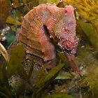 Swansea Seahorse Hiding in Seaweed by Matt-Dowse