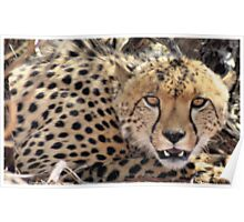 """""""CHEETAH PORTRAIT"""" - Botswana - Kalahari Poster"""