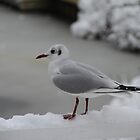 Seagull ready in the snow by JF Gasser