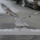 Seagull in the snow by JF Gasser
