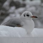 Seagull quiet sitting in the snow by JF Gasser