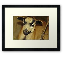 Cameroon sheep Framed Print
