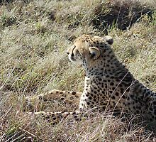 cheetah waiting by shaft77
