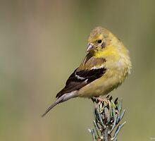 American Goldfinch by PixlPixi