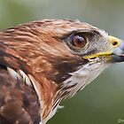 Red-tailed Hawk portrait by Michaela Sagatova