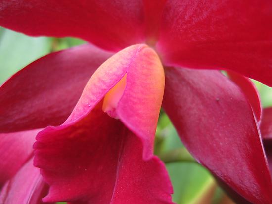Tutankhamun Orchid Flower Close-Up by Glenn Cecero