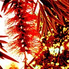 Sunshine on the bottle brush by grarbaleg
