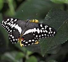 Citrus Swallowtail by PhotosByHealy