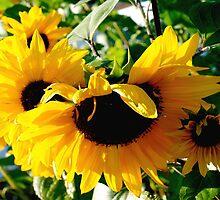 Peek-a-boo  sunflowers by ♥⊱ B. Randi Bailey