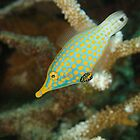 Orange-Spotted Filefish - Oxymonacanthus longirostris by Andrew Trevor-Jones