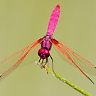 The Pink Dragonfly by Philip Alexander