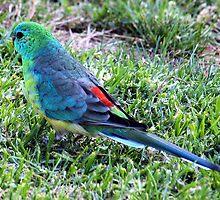 Grass Parrot ~ psephotus haematonotus by Clive
