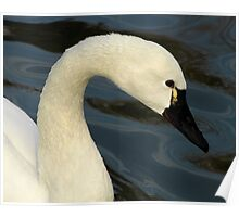 Tundra Swan Portrait Poster