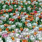 Field of Blooming Tulips in White, Red, Pink, and Green by wrathko