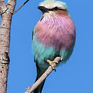 Lilac-breasted Roller by Will Hore-Lacy