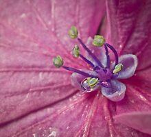 Hydrangea by BoB Davis