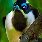 Blue Faced Honey Eater by Steve Randall