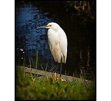 Snowy White Egret Photographic Print