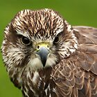 Falcon Close-up by Mark Hughes