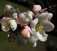 Japanese Peach  by annalisa bianchetti