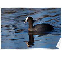 Cute Coot! Poster