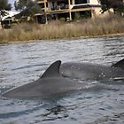 Dolphins Up The Collie River Western Australia by ZanaPearce73
