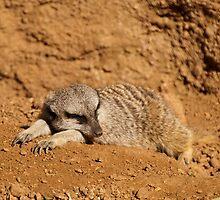 Sleepy Meerkat by Lisa Dugger