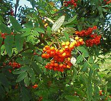 Lush Rowans by sarnia2