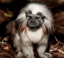 Cotton-top Tamarin by Lisa Dugger