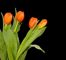 orange tulips by snehit