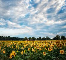 Sunflower Fields by KellyHeaton