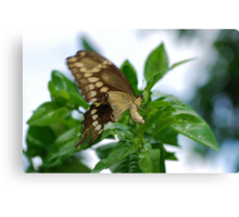 Yellow butterfly on orange tree Canvas Print