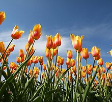 yellow and orange color tulip flowers by snehit