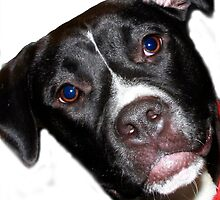 A Sweet Pit Bull by Shirley Tyler-Bowman