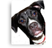 A Sweet Pit Bull Canvas Print