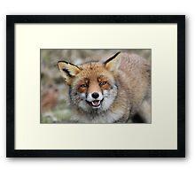 Red Fox - 1649 Framed Print