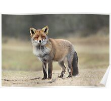 Red Fox - 1684 Poster