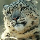 Snow Leopard in February by starbucksgirl26