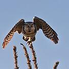 Hawk Owl Spots Its Prey by David Friederich