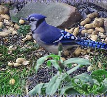 My Blue Jay Loves Peanuts by ╰⊰✿ℒᵒᶹᵉ Bonita✿⊱╮ Lalonde✿⊱╮