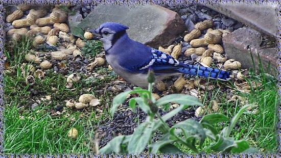 My Blue Jay Loves Peanuts by ╰⊰✿ℒᵒᶹᵉ Bonita✿⊱╮ Lalonde✿⊱╮