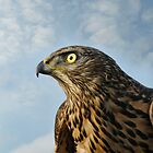 Hawk by Lifeware