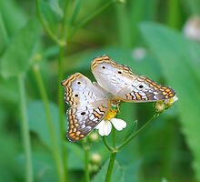 White butterfly on Spanish Needles by Ben Waggoner