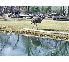 Reflecting Ostrich Photographic Print