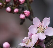 A Promise of Peaches  by heatherfriedman