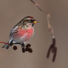 Common Redpoll Perched on Alder Cones by Bill McMullen