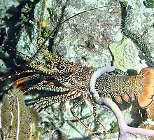 Spotted Lobster at night by Amy McDaniel