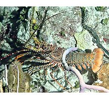 Spotted Lobster at night Photographic Print