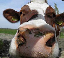 Cows#2 by ZanHanhof